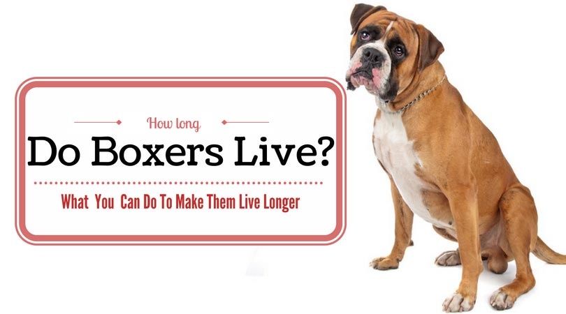 how long do boxers live