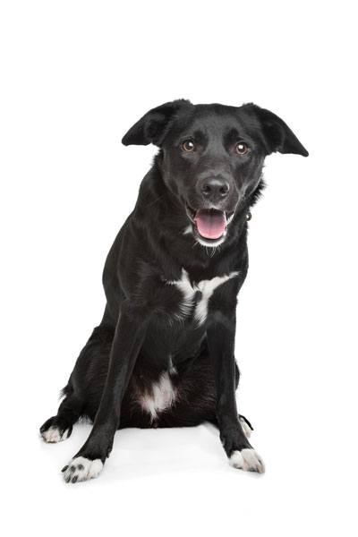 border collie lab mix Temperament