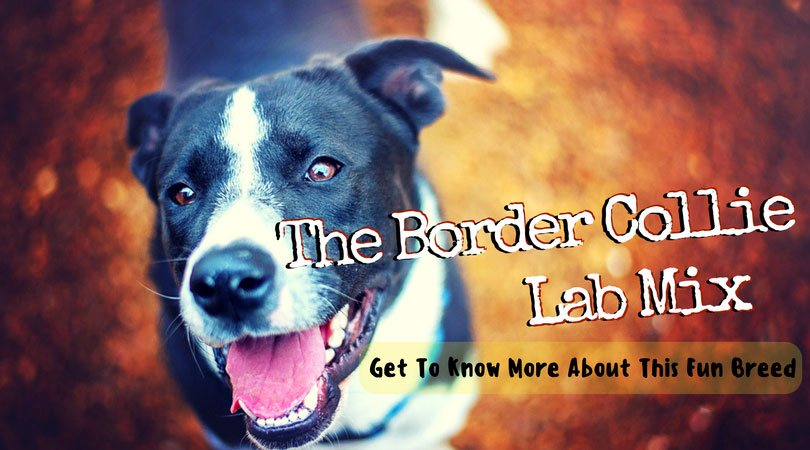 border collie lab mix