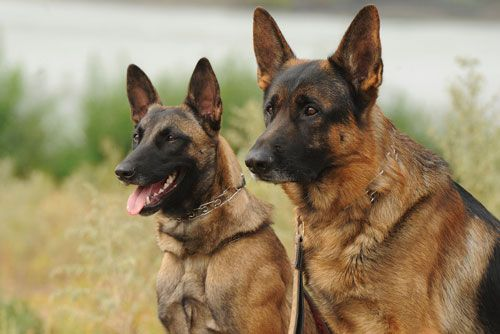 Belgian Malinois vs German Shepherd Popular