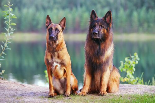 Compare The Belgian Malinois vs German Shepherd Characteristics
