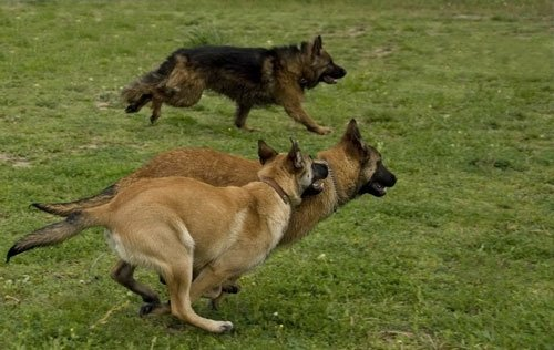 belgian malinois vs german shepherd Police