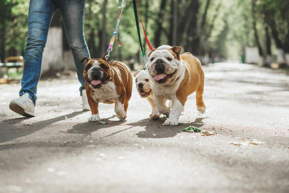 dog food for bulldogs High-Protein Diet