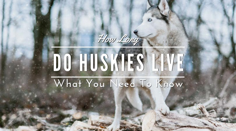 How Long Do Huskies Live