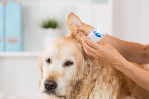 How To Treat Ear Mites In Dogs