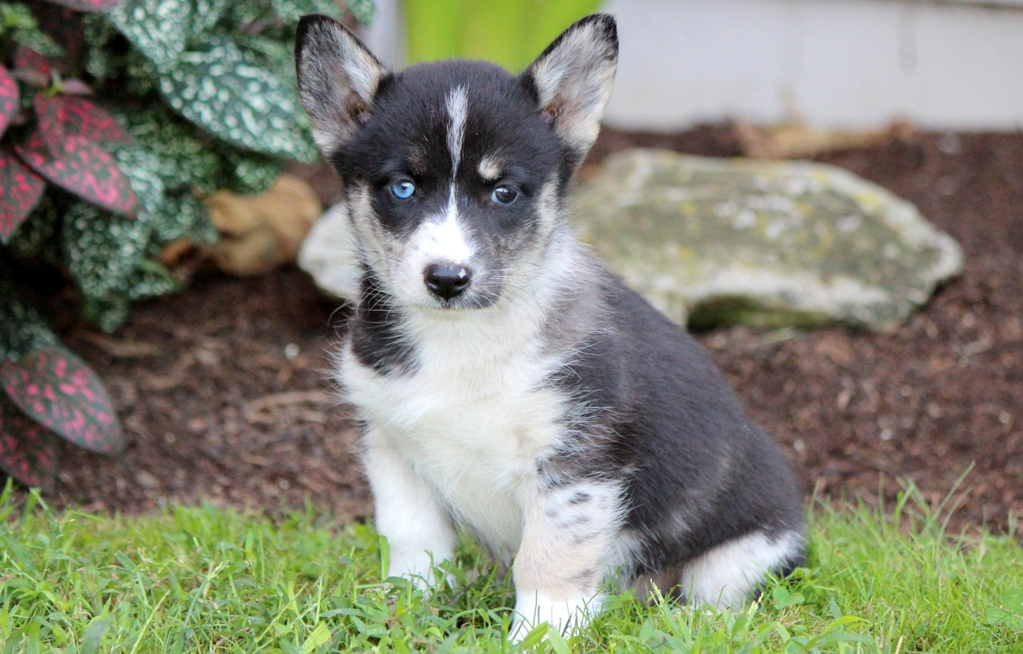 The Corgi Husky Mix: All About This Energetic, Adorable ...