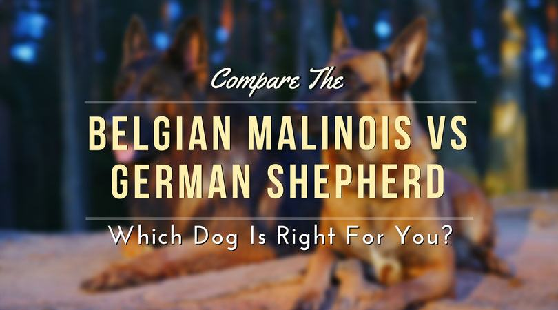 Compare The Belgian Malinois vs German Shepherd