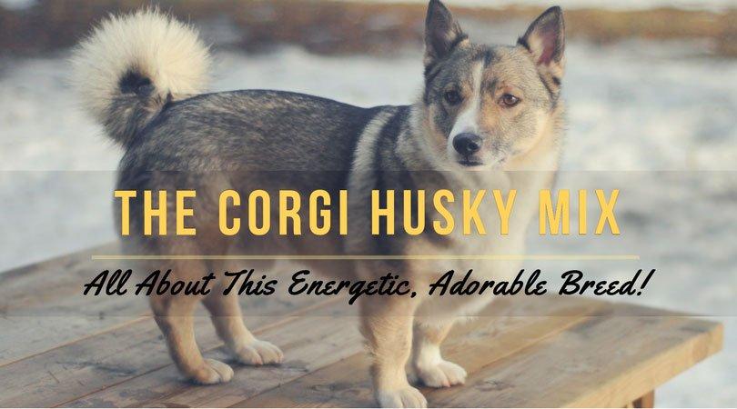 corgi husky mix