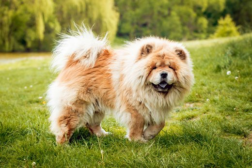 Chow Chow Dogs That Can Be Left Alone