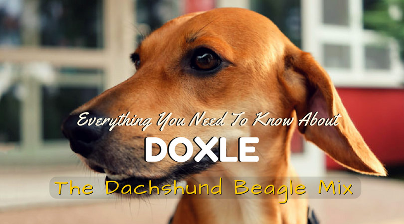 Doxle - The Dachshund Beagle Mix