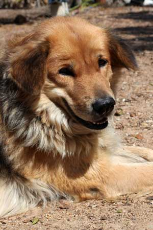 german shepherd mix golden retriever german shepherd golden retriever mix an adorable fun 3962