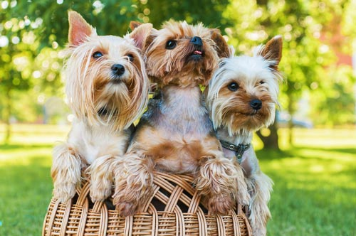 Best Dog Food for Yorkie